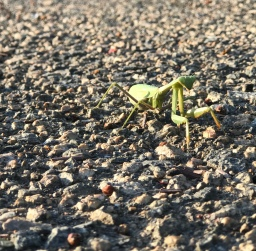 Met a praying mantis on Dog Walk